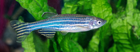 Photo of a zebrafish in planted aquarium