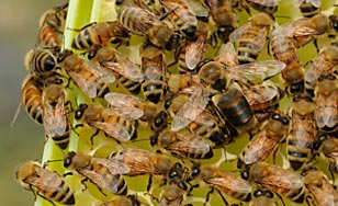 St. Scholastica's honey bees