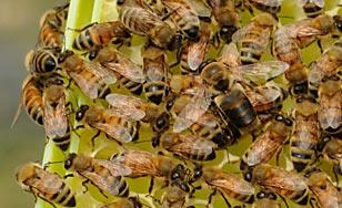 St. Scholastica's honey bees